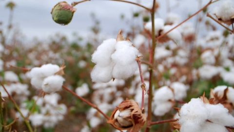 Egyptain cotton